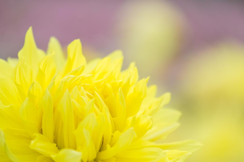 花畑のダリア達Ⅳ