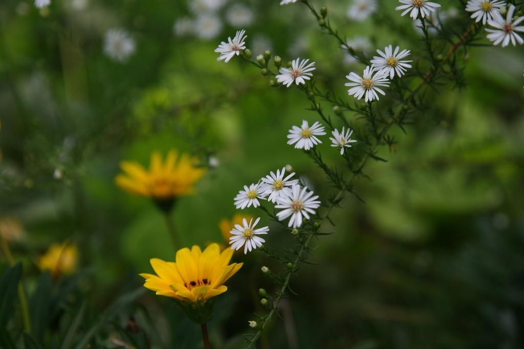 クジャクアスターと黄色の花2