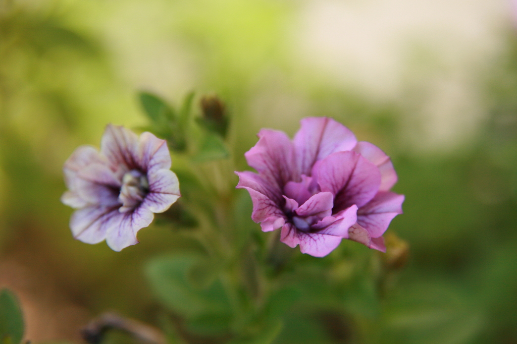 八重咲きペチュニア
