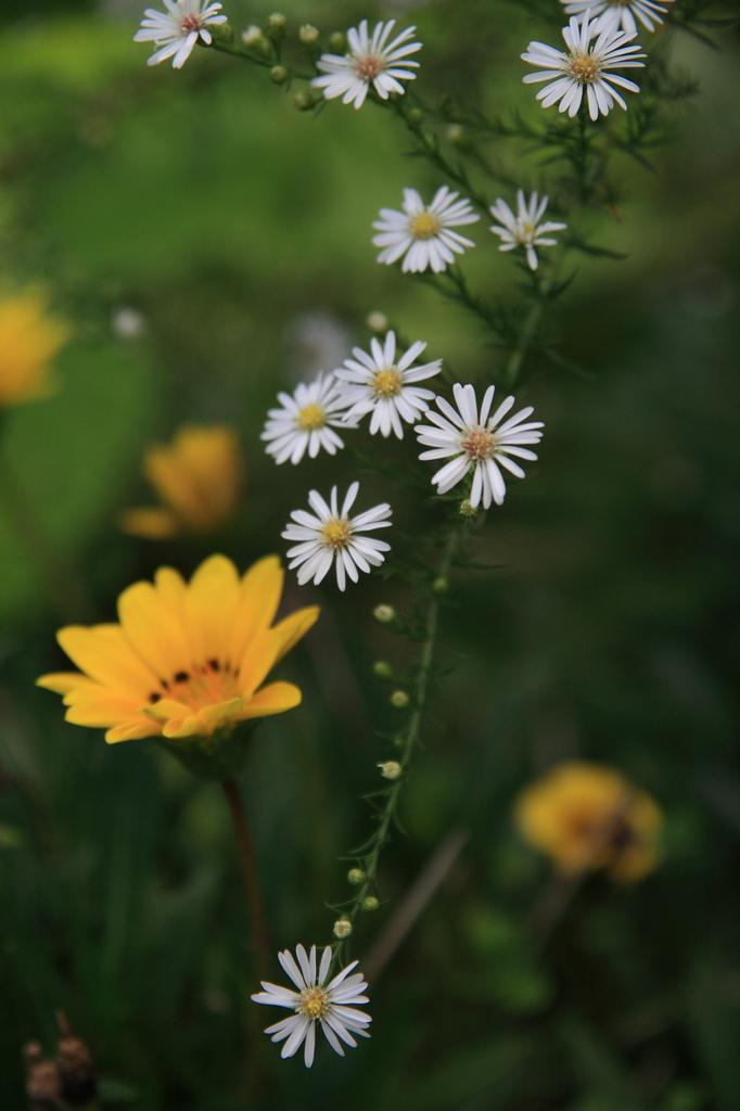クジャクアスターと黄色の花1