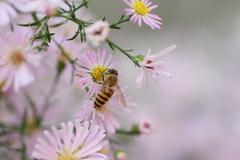 クジャクアスターとミツバチ