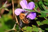 エゾフウロとクマバチ