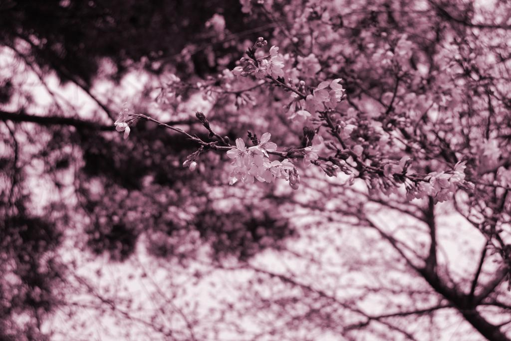 みじかい春