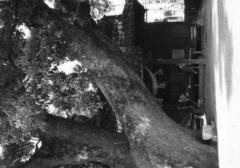 公園の大木2