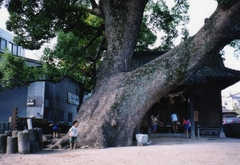 公園の大木