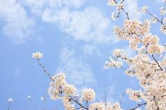 桜しののめ公園0013