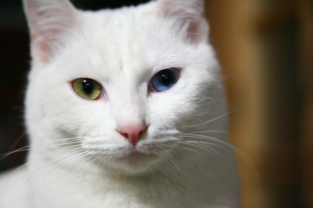オッドアイ、宝石の様な目の「さくら」です