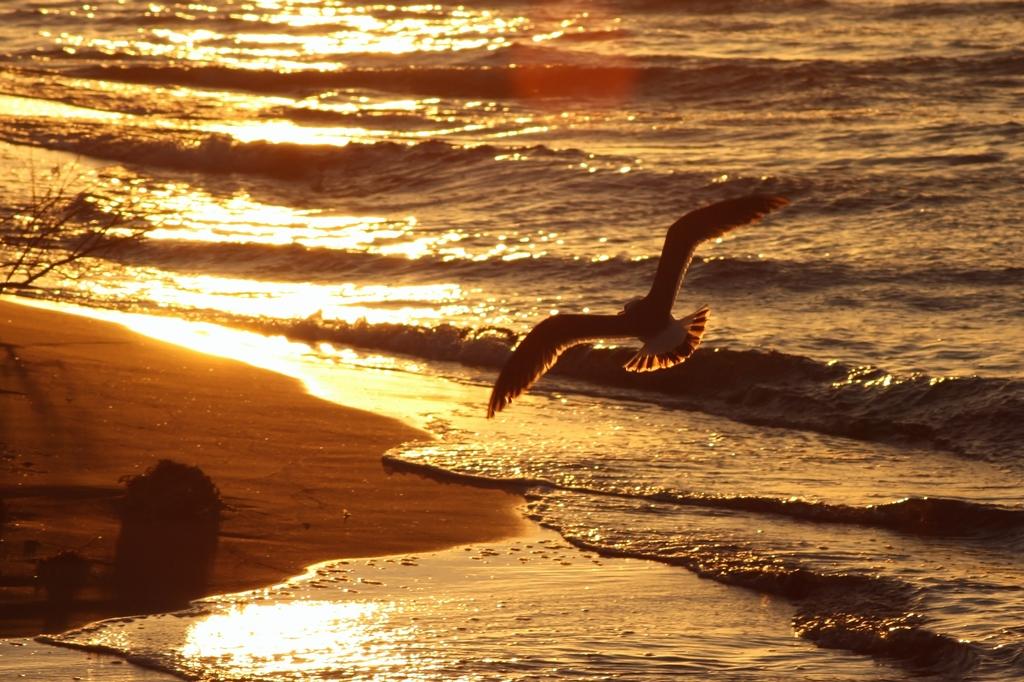 夕映えの海鳥