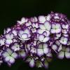 浮かび上がる紫