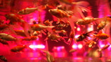 gold(fish) rush