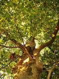 大樹を仰ぐ