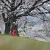 賀茂川上流域の桜