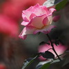 春バラ 3