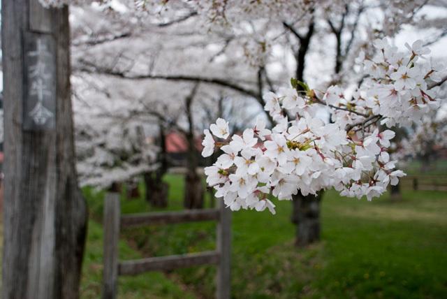 sakura in koiwai farm