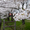 sakura in koiwai farm