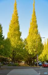 外苑の銀杏並木。