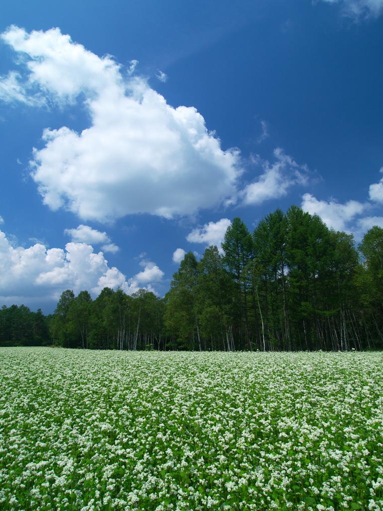 開田高原の蕎麦畑