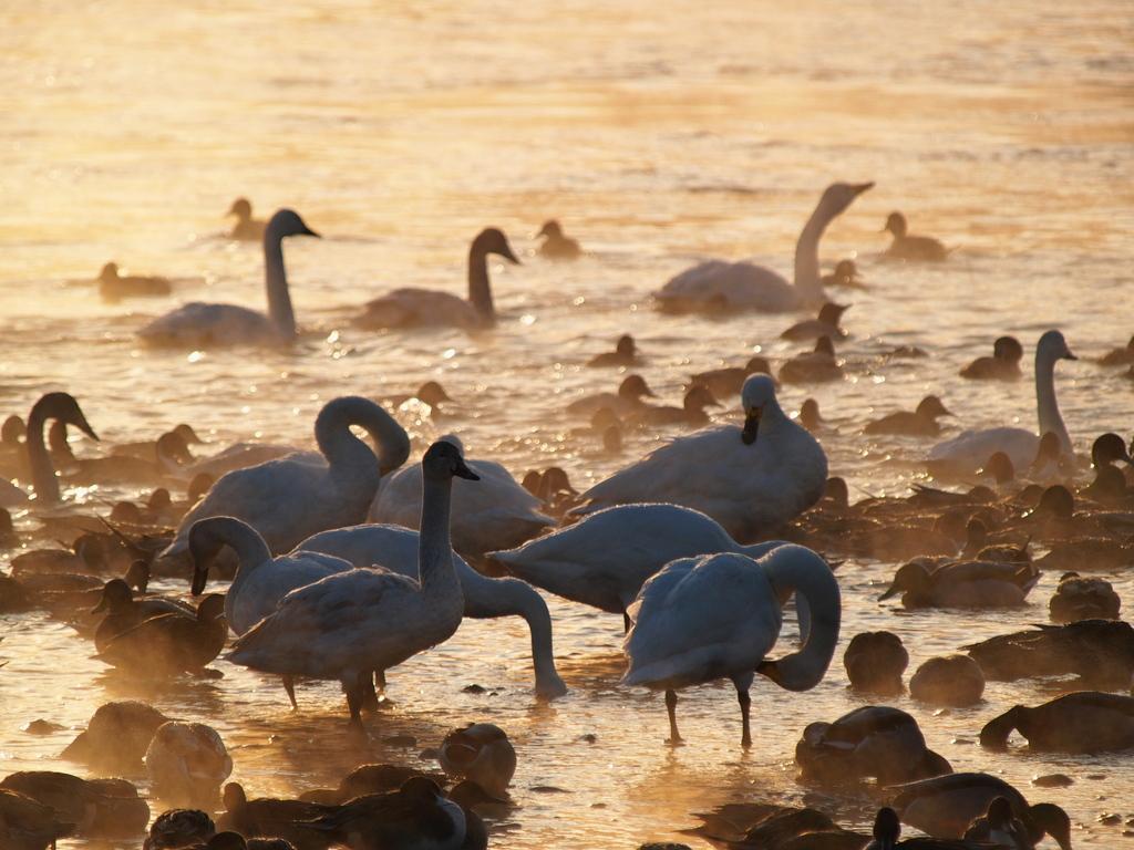 朝の白鳥湖