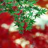 NIKON NIKON D40で撮影した植物(もみじ)の写真(画像)