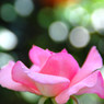 NIKON NIKON D40で撮影した植物(秋のバラ)の写真(画像)