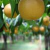 実りの秋 梨