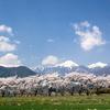 安曇野 桜提