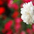 NIKON NIKON D40で撮影した植物(バラ)の写真(画像)
