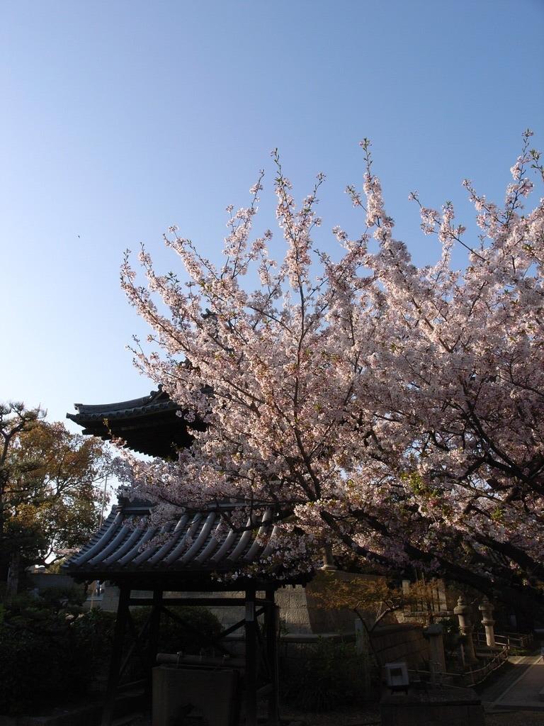 久米田寺の桜