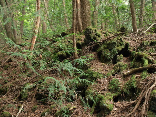 樹海 火山岩の上の生命力