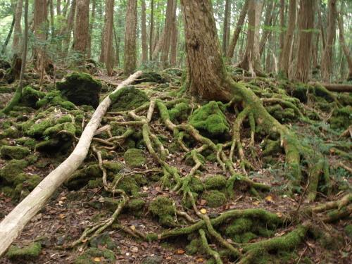 樹海 岩盤を這う根