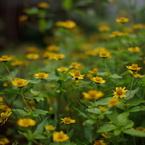 PENTAX PENTAX K10Dで撮影した植物(きいろ)の写真(画像)