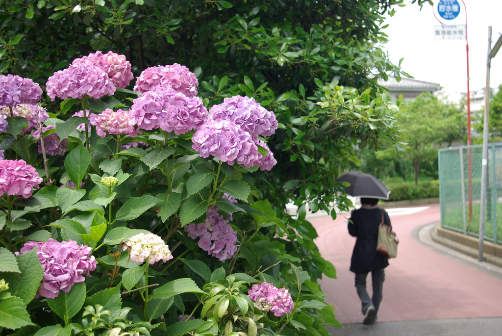 紫陽花と奥さん