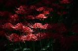 妖艶の赤3