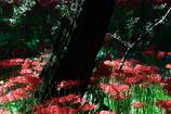 妖艶の赤15