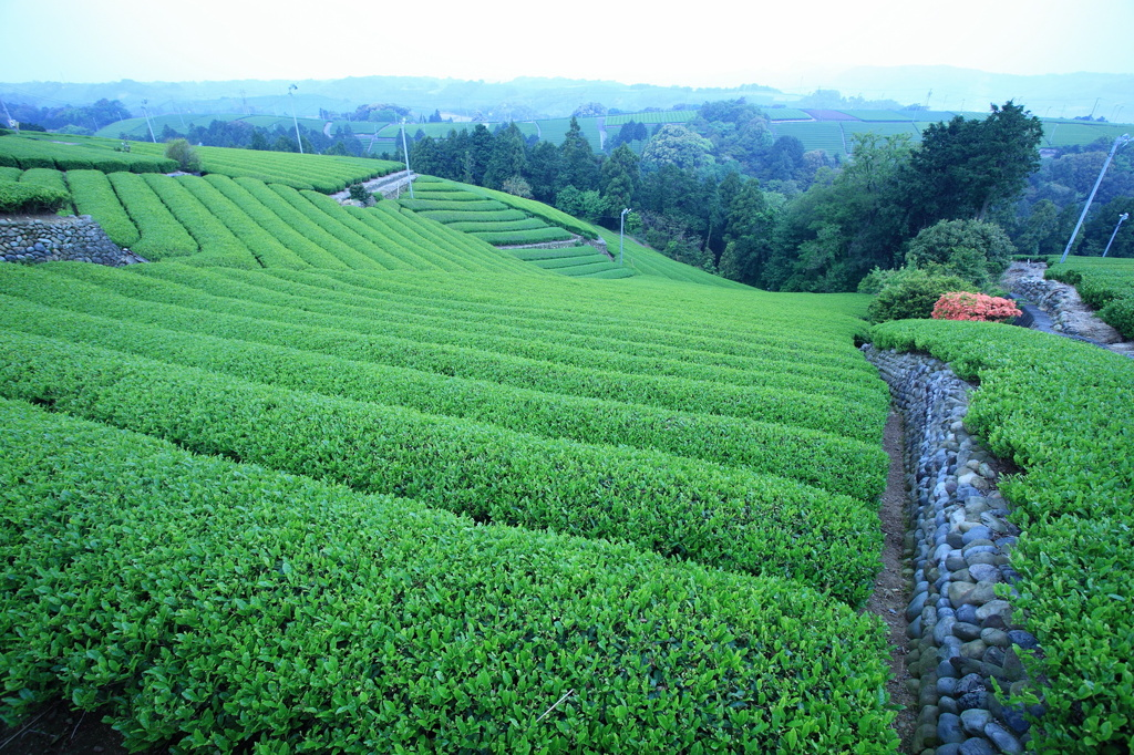 早朝の茶畑