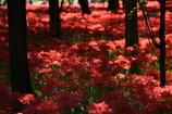 妖艶の赤12