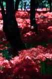 妖艶の赤11
