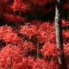 妖艶の赤20