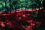 妖艶の赤1