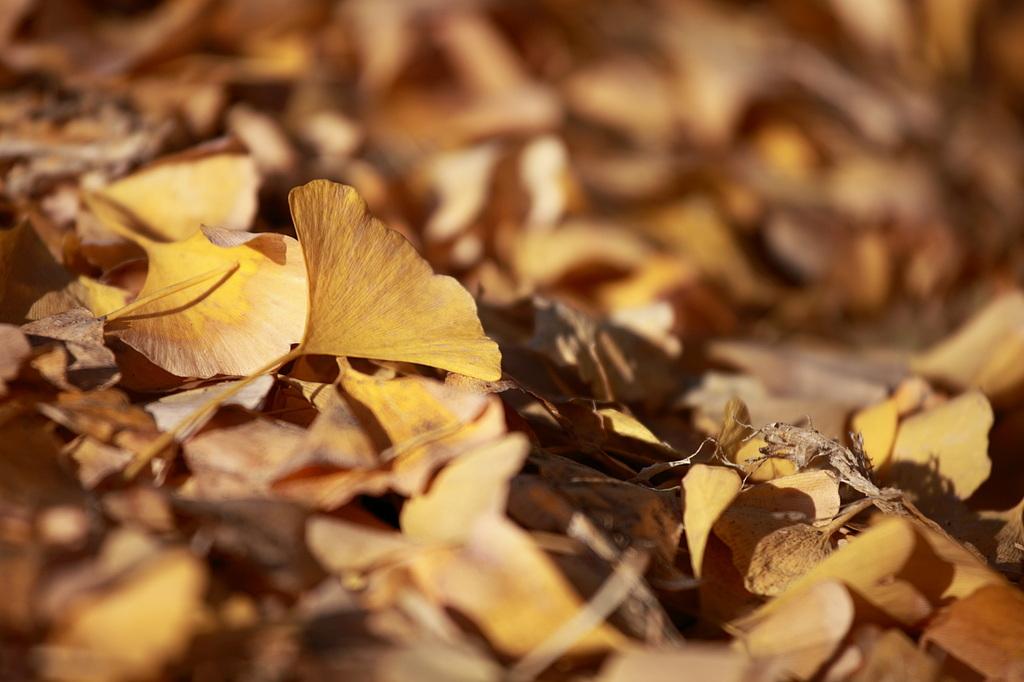 イチョウの葉絨毯