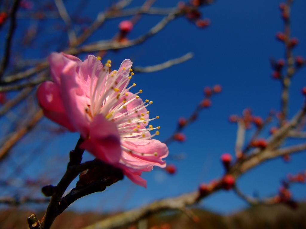 ひとり咲き