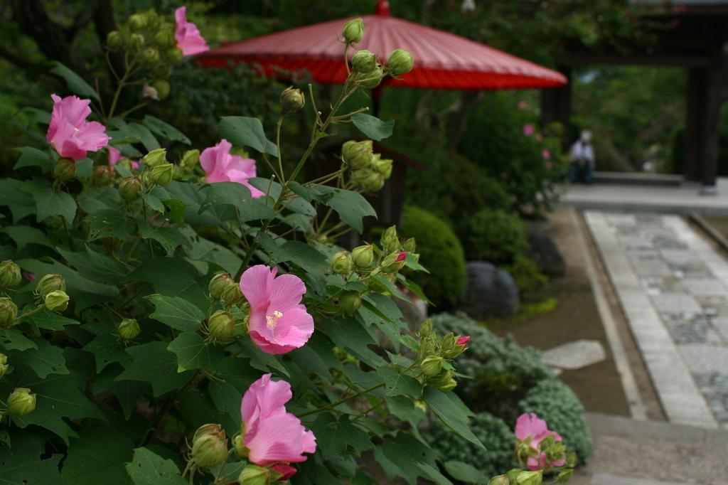 芙蓉の咲く季節