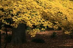 黄葉するイロハモミジ