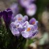 春サフラン
