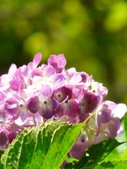 グラデーションの紫陽花
