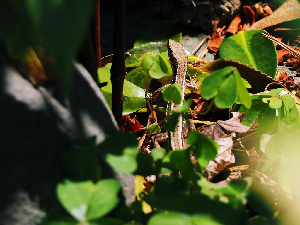 目覚めのカナヘビ発見。