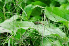 新鮮な蜻蛉はいかが?