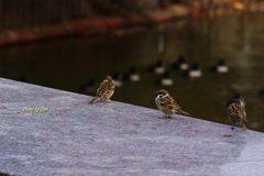 大池の縁の雀