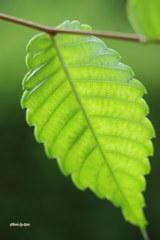 Greenery leaf