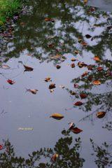 水たまりに落ち葉